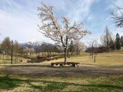 八色の森公園の桜を眺めてしばしの休憩です。