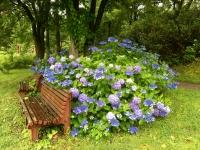 八色の森公園は雨ですが、紫陽花が見ごろですよ。