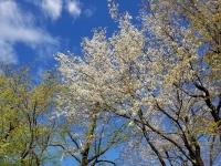 遅咲きのサクラと新緑