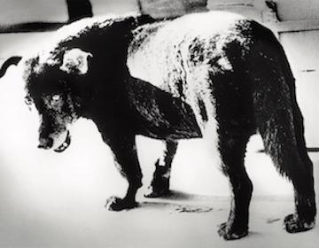森山大道『三沢の犬』1971年 (富士フイルム株式会社蔵)